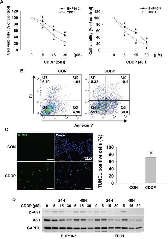 CDDP causes downregulation of p-AKT and AKT and increases cell cytotoxicity in thyroid cancer cells.