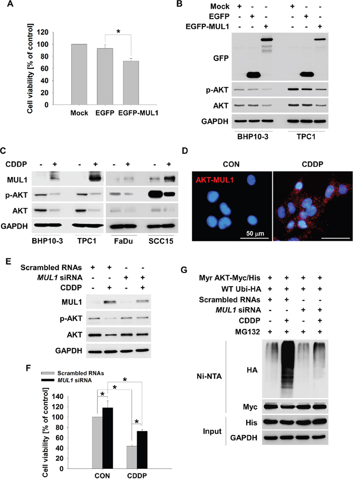 MUL1 is an E3 ligase responsible for CDDP-induced AKT ubiquitylation.