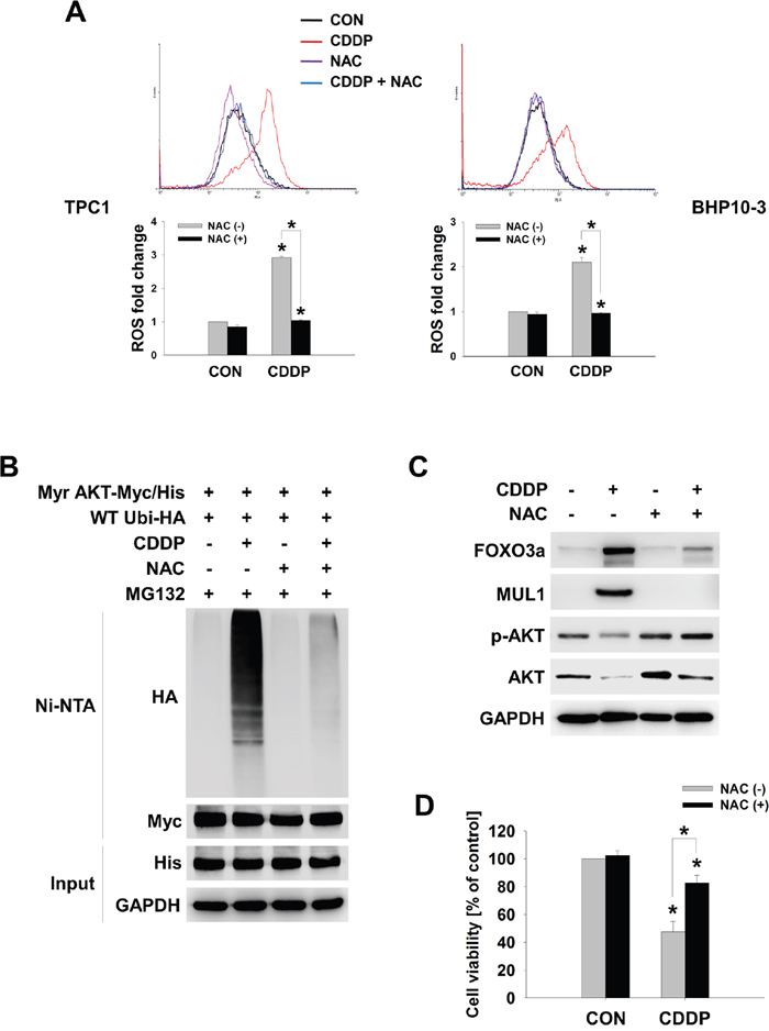 CDDP-induced cellular ROS controls the FOXO3-MUL1-AKT axis.