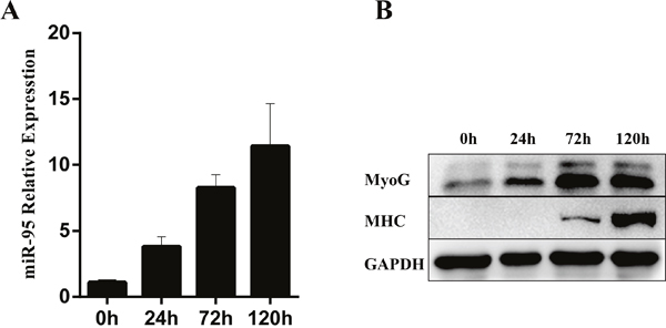 Changes in expression levels of miR-95 and differentiation marker genes MHC and myogenin in C2C12 cells during in vitro differentiation.