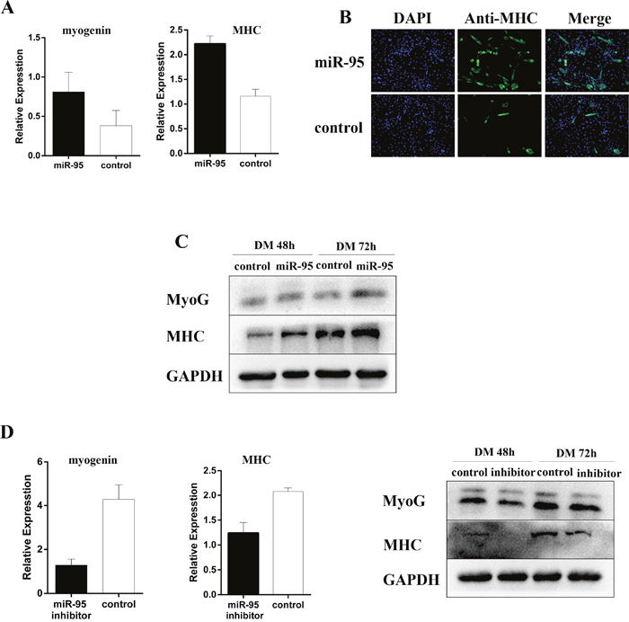 Positive regulation of myoblast differentiation by miR-95.