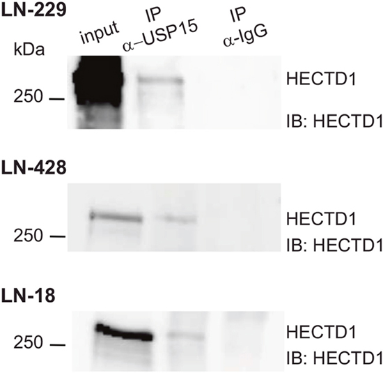 USP15 interacts with HECTD1 in GBM cell lines.