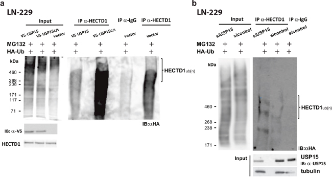 USP15 de-ubiquitinates and stabilizes HECTD1 in LN-229.