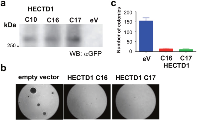 Effect of HECTD1 on cell growth.