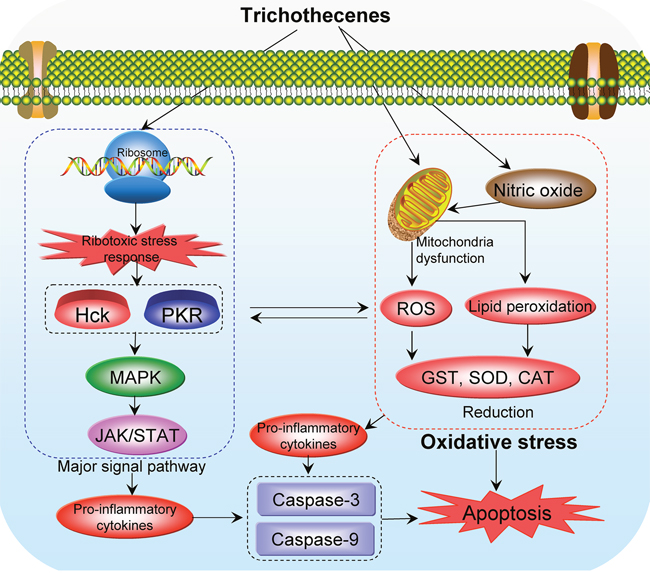 Proposed mechanisms of oxidative stress-mediated toxicity of trichothecenes.