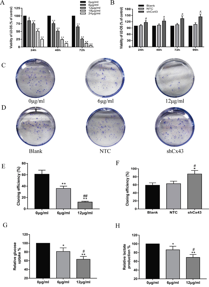 Resveratrol inhibits the proliferation and glycolysis of U2-OS cells, and knockdown of Cx43 promotes the proliferation of U2-OS cells.