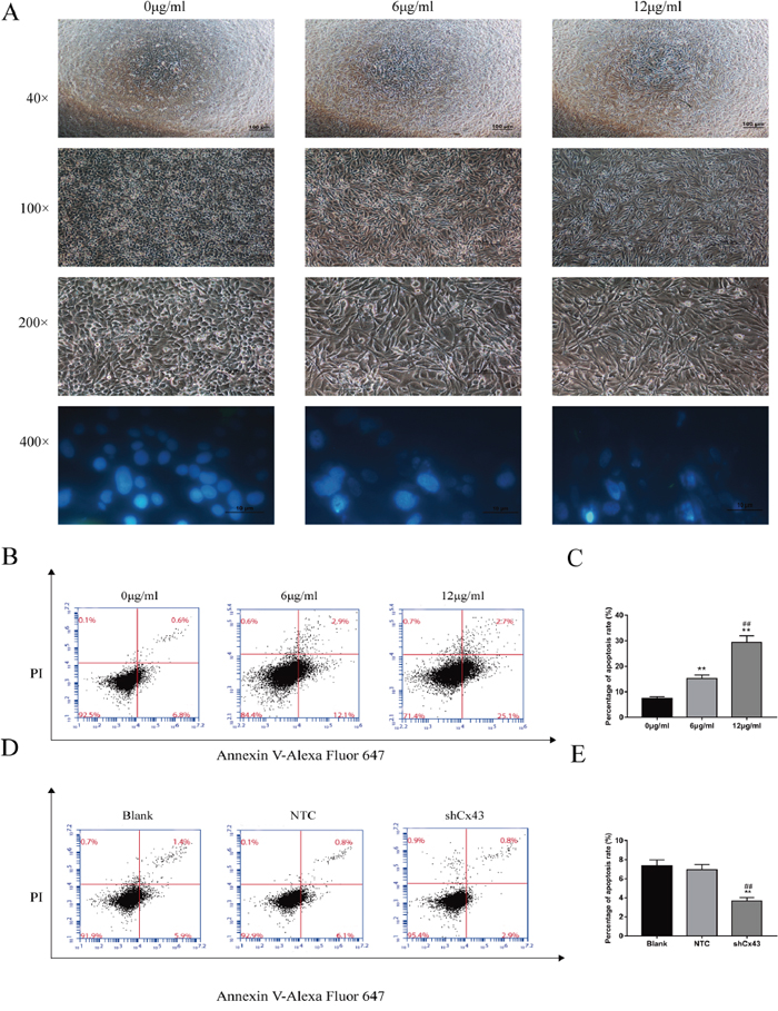 Resveratrol alters the morphology of U2-OS cells and induces apoptosis, and knockdown of Cx43 reduces apoptosis.