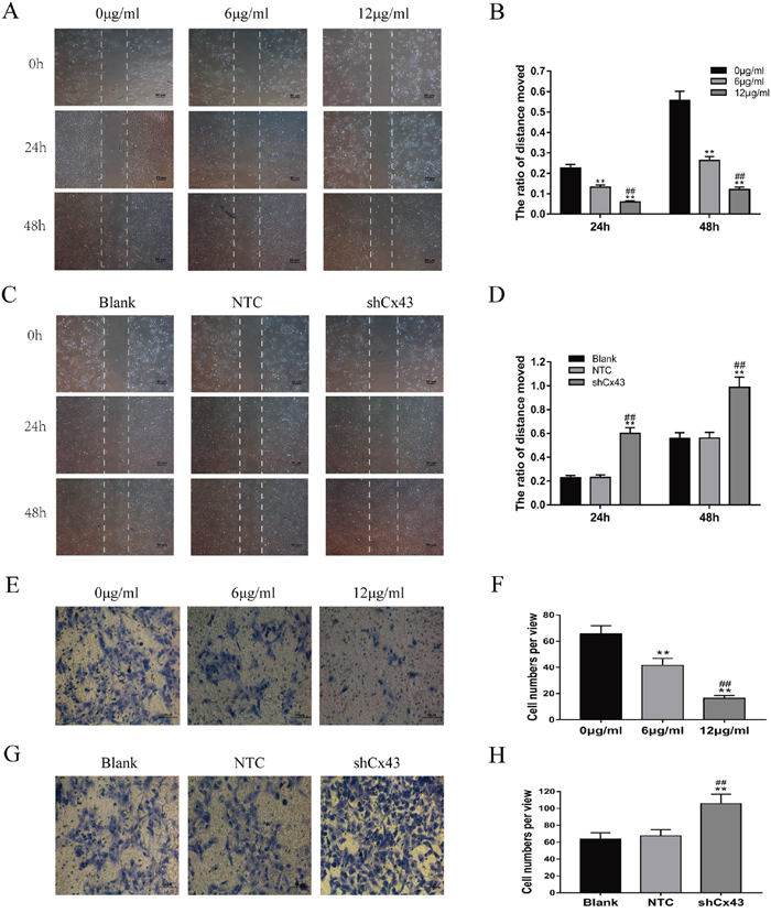 Resveratrol suppresses the migration and invasion of U2-OS cells, and knockdown of Cx43 enhances the migration and invasion of U2-OS cells.
