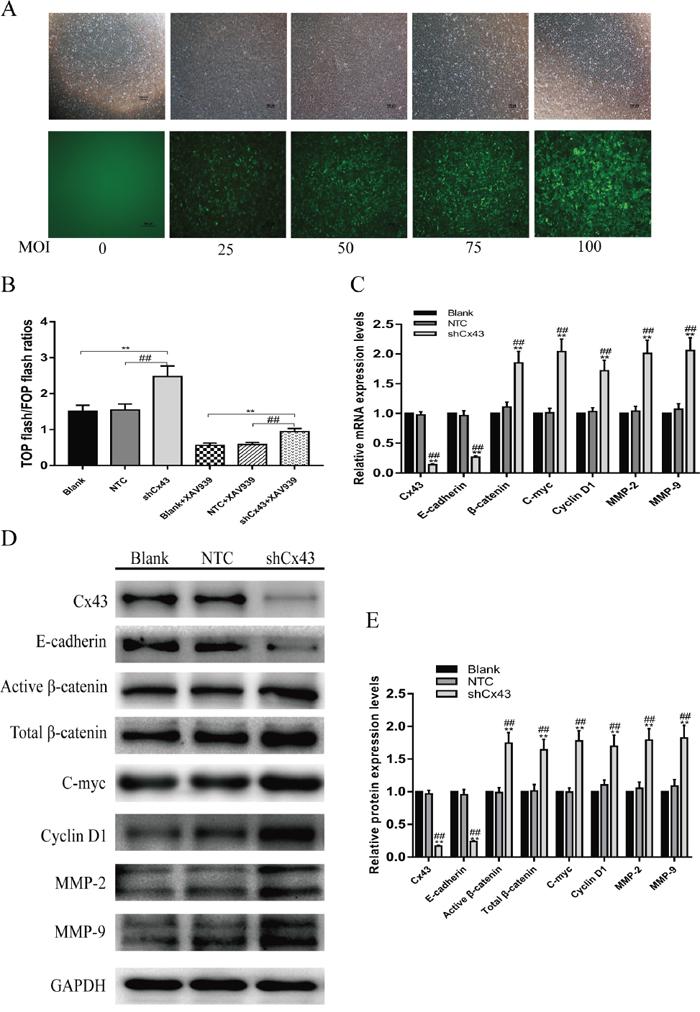 Knockdown of Cx43 enhances Wnt/β-catenin pathway activity.