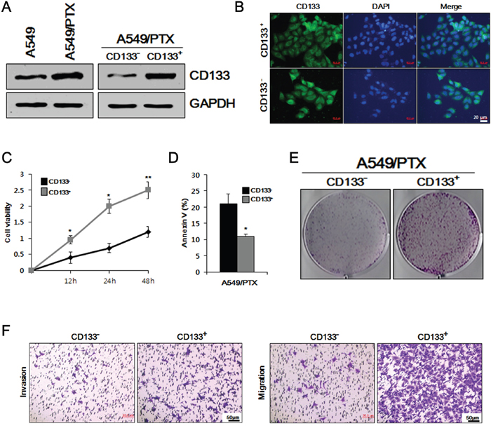 Comparative study of cell viability, proliferation, apoptosis, and metastasis in A549/PTX CD133+ and CD133- cells.