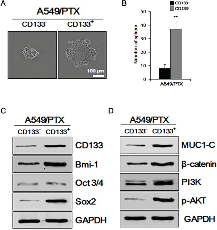 Examining A549/PTX cells for CSC characteristics.