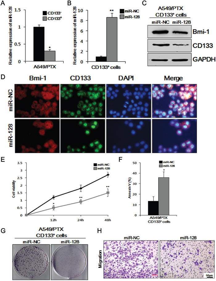 Overexpression of miR-128 inhibits cell viability, migration, colony formation, and BMI-1 expression, and induces apoptosis in CD133+ cells.