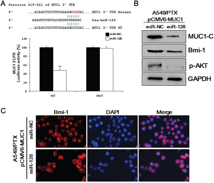 MUC1-C and BMI-1 are downstream targets of miR-128.