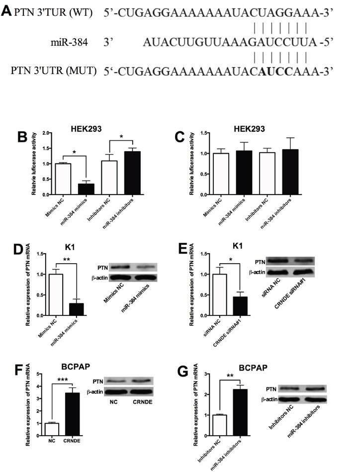 PTN is a target of miR-384.