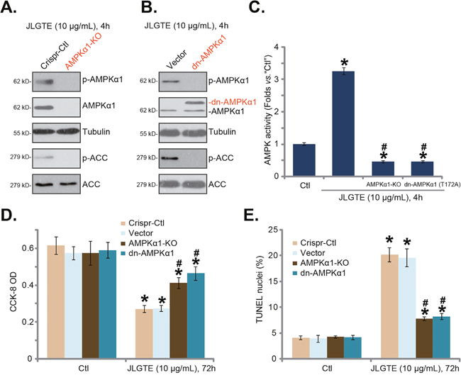 AMPKα1 knockout or dominant negative mutation attenuates JLGTE-induced cytotoxicity in HepG2 cells.