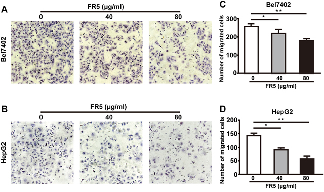 Effects of FR5 on Bel7402 and HepG2 cell migration.