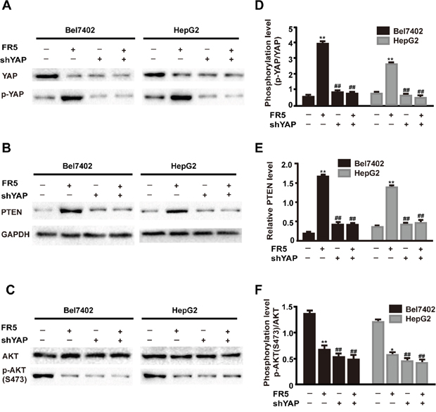 FR5 induces coordination between Hippo and PI3K/AKT inBel7402 and HepG2 cells.