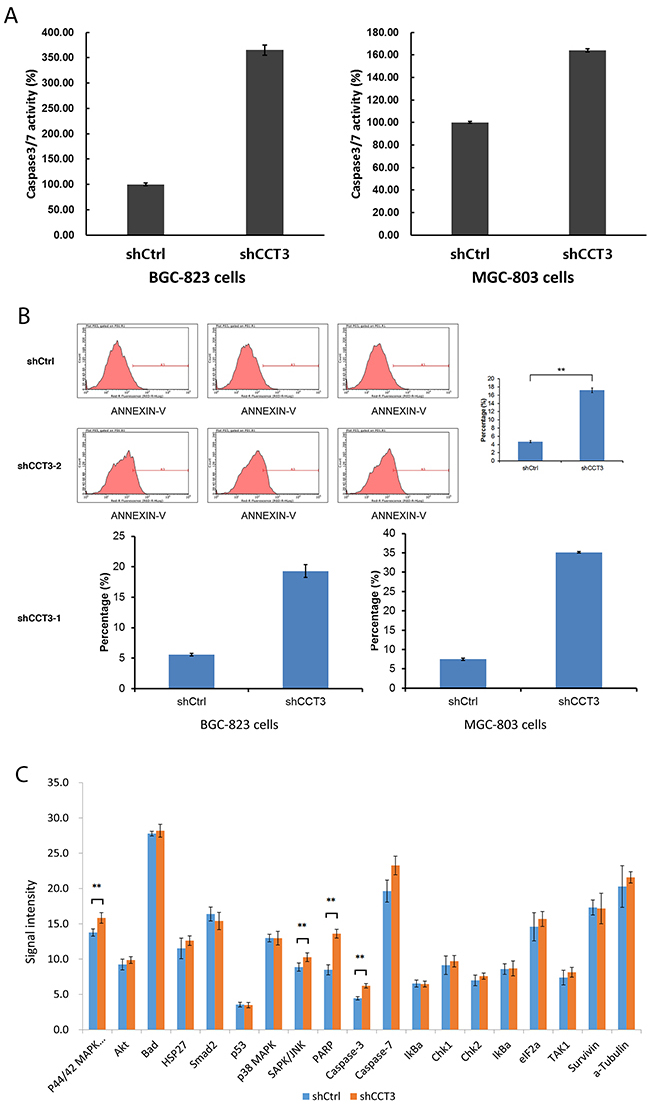 Knockdown of CCT3 promoted gastric cancer cell apoptosis.