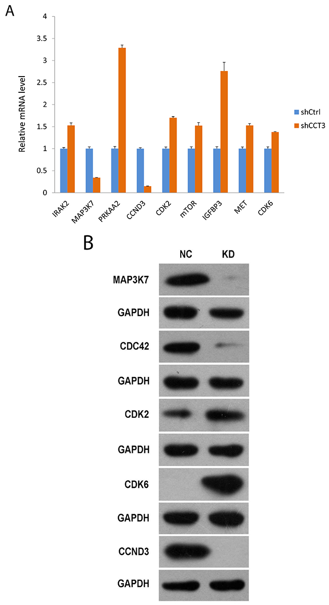 Gene expression affected by CCT3 knockdown.