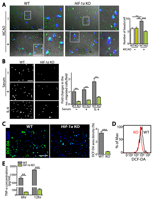 HIF-1α-deficient microglia are impaired in microglial functions including phagocytosis, chemotaxis, and production of ROS and TNF-α.