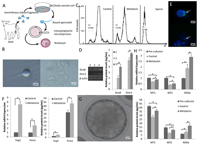 Functional goat haploid spermatozoa were obtained from the in vitro testis cell culture.