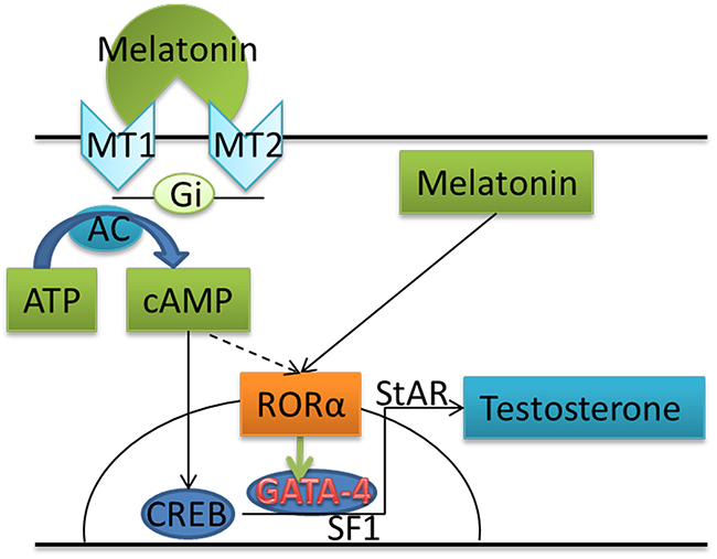 Schematic illustrating the proposed mechanism by which melatonin increases testosterone production in goat testis cells by binding to RORα.