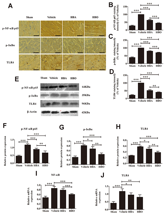 HBO suppresses the activation of TLR4-NF-κB pathway.