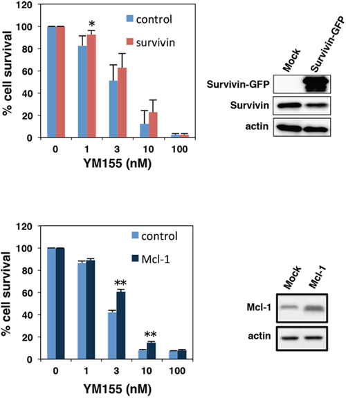 Effect of ectopic expression of survivin or Mcl-1 on YM155-induced cell death.