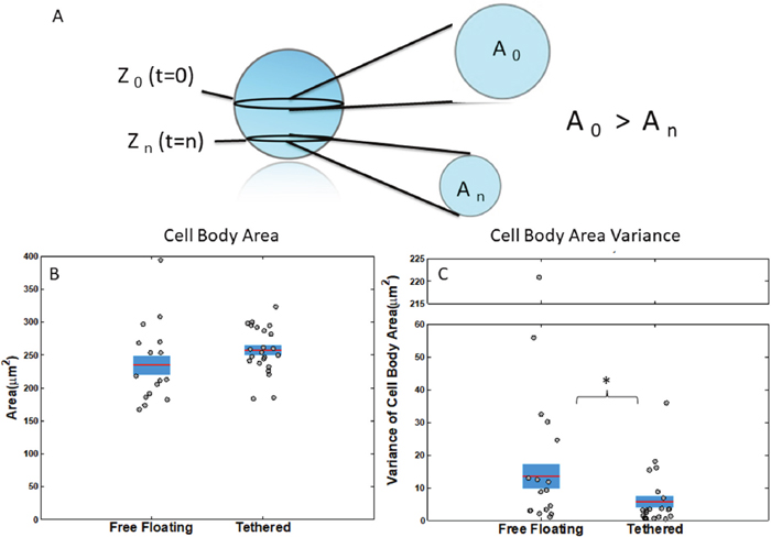 Measurements of cell body attributes for free-floating and tethered cells.