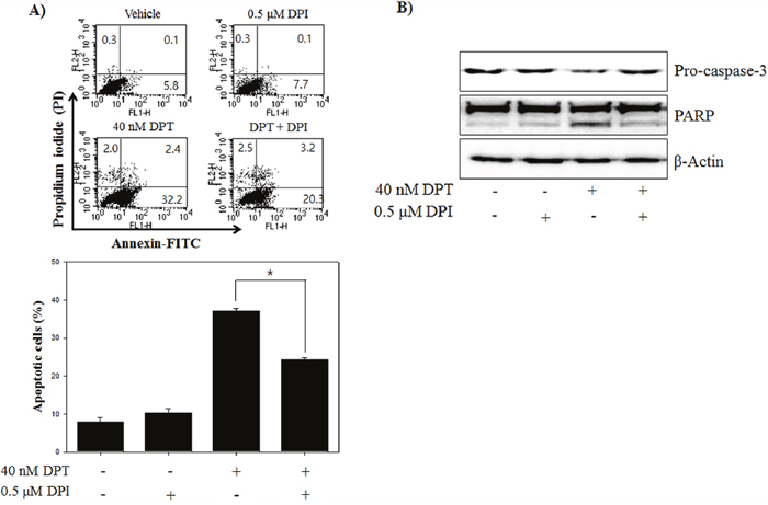 DPT induces the apoptosis through mitochondrial ROS in PC-3 cells.