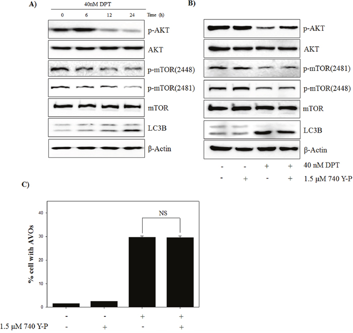 DPT inhibits PI3K/AKT/mTOR pathway of autophagy in PC-3 cells.