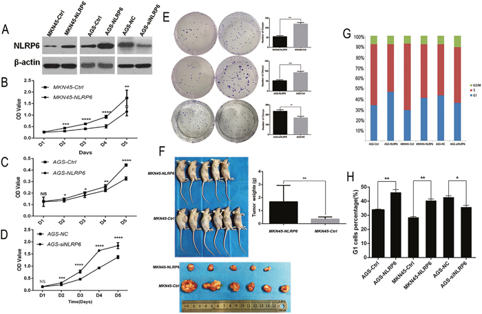 NLRP6 suppresses gastric cancer proliferation in vitro and in vivo.