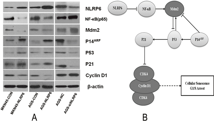 The role of NLRP6 in gastric cancer.