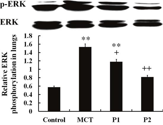 Comparison of ERK phosphorylation in rat lung tissues.