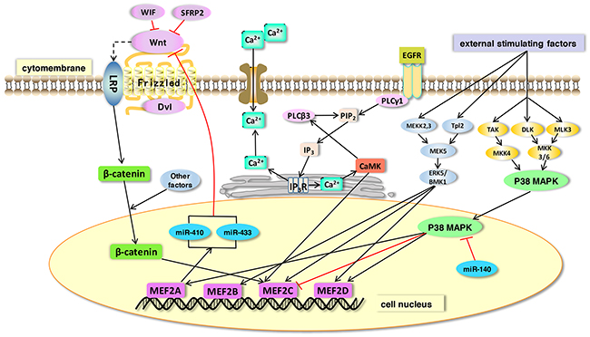 The function of MEF2 proteins in signaling pathways.