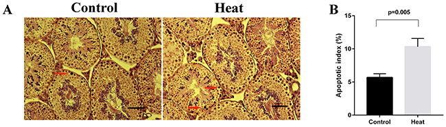 Germ cell apoptosis in control and heat treatment group.