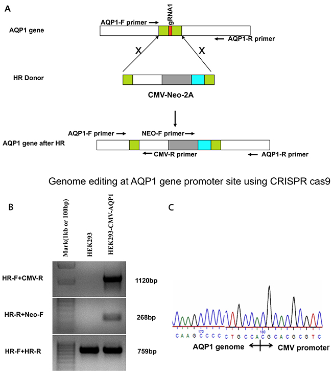 Genome editing at the AQP1 gene promoter site using CRISPR-Cas9 and establishing the integrated stable cell line of HEK293.
