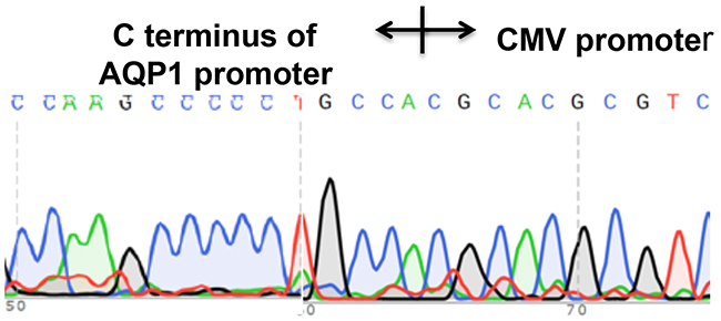 A CMV-Neo-2A fragment was accurately inserted by homologous recombination into the AQP1 genome locus.