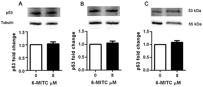 Effect of 6-MITC on p53 protein level in Jurkat cells.