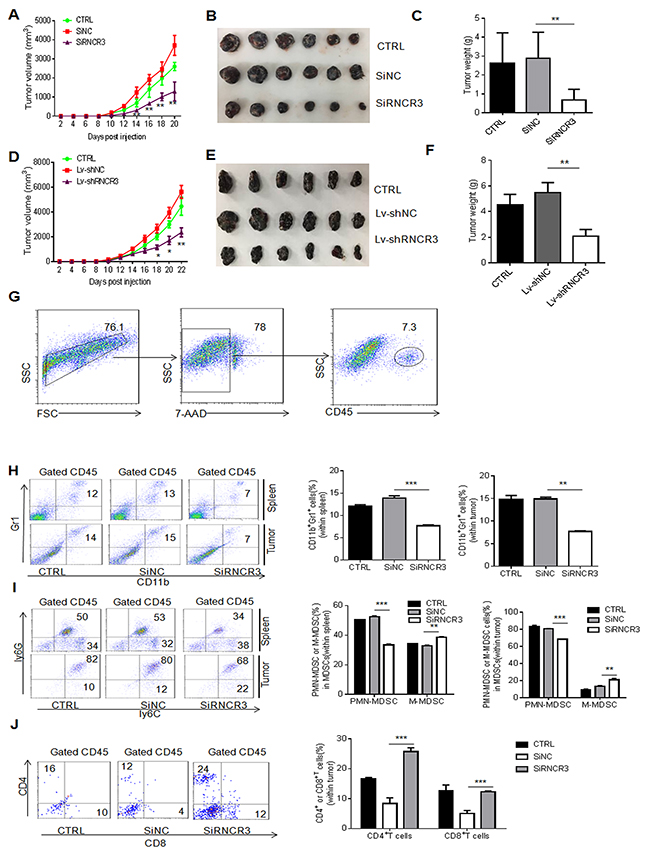 RNCR3 knockdown affects differentiation and immunosuppressive function of MDSCs in vivo.