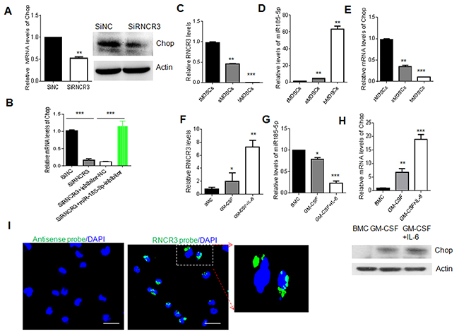 Regulation of RNCR3 in MDSCs is through upregulating Chop by sponging miR-185-5p.