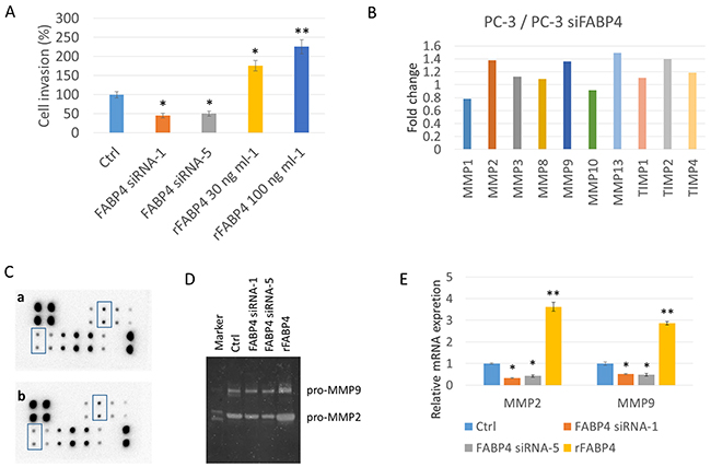 FABP4 directly stimulates PCa cell invasiveness by the upregulation of MMP2 and MMP9.