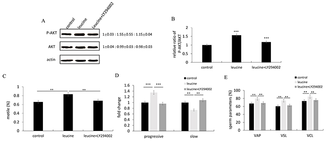 The effects of leucine treatment on zebrafish sperm motility were reduced after inhibiting the PI3K/Akt signaling pathway.