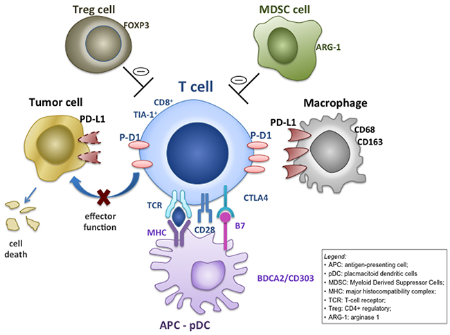 Mechanisms for intratumoral programmed cell death ligand-1 (PD-L1) expression.