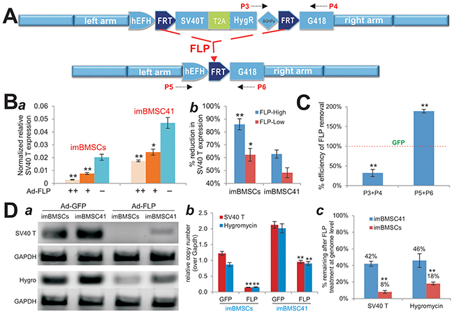 Effective removal of the transgenes integrated at the mouse Rosa26 locus through CRISPR/Cas9-mediated HDR.