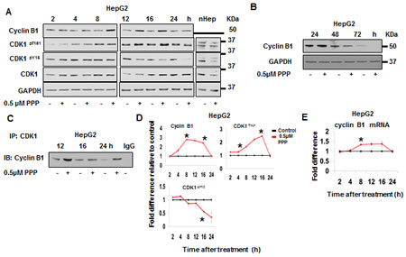 PPP induced an early increase in Cyclin B1, phosphorylation of CDK1