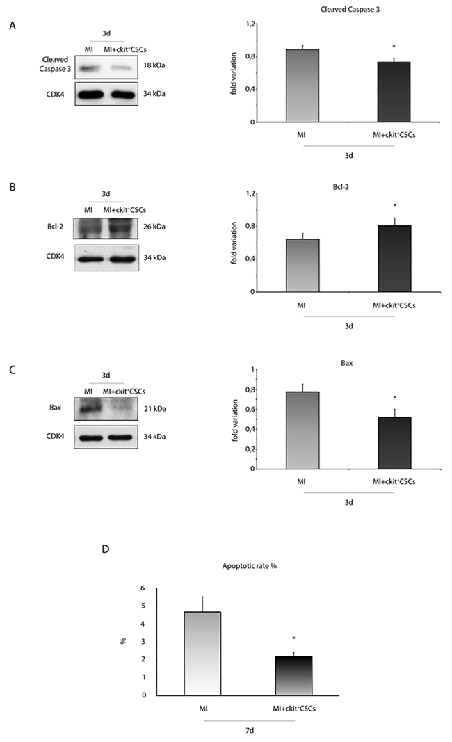 ckit+CSCs modulate the expression of apoptotic markers in treated infarcted hearts.