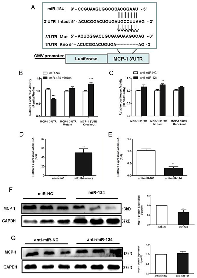 MiR-124 regulates monocyte chemotactic protein 1 (MCP-1) mRNA and protein expression via direct binding to the 3'UTR of MCP-1.