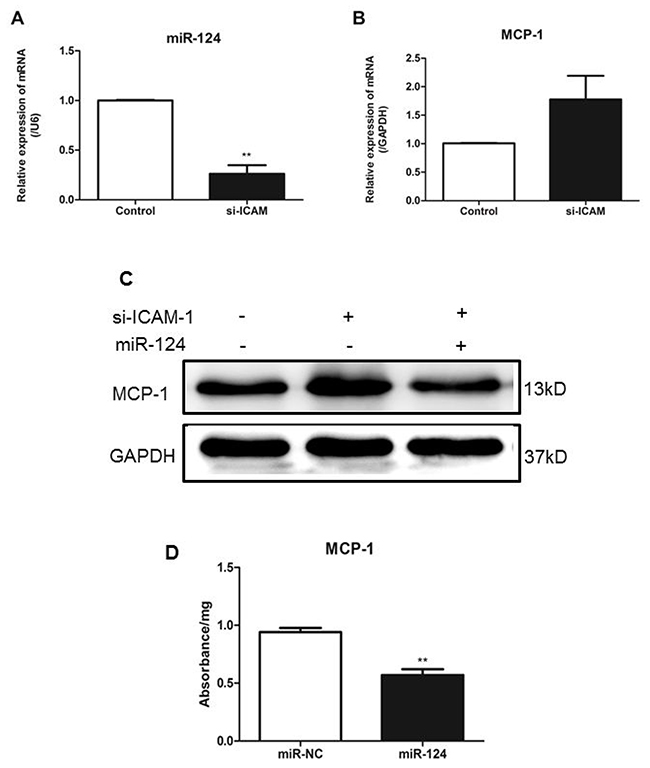 ICAM-1depletion attenuates miR-124 expression and promotes MCP-1 production in macrophages.