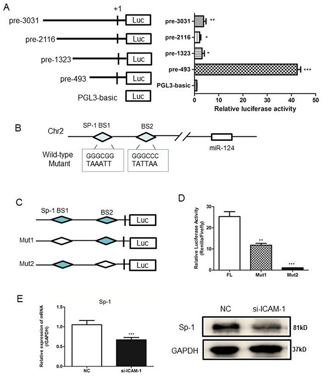 Analysis of the miR-124 promoter and transcription factor Sp1 binds to miR-124 promoter.